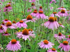 Picture of the Echinacea Plant