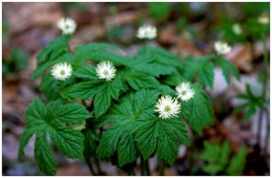 Picture of Goldenseal in bloom