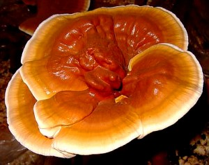 Reishi Fruiting Body