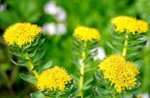 Rhodiola Rosea