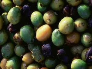 Saw Palmetto Fruit