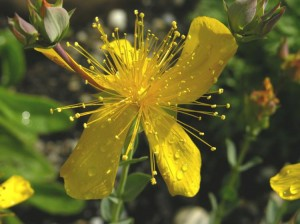 St Johns Wort Flower Tops