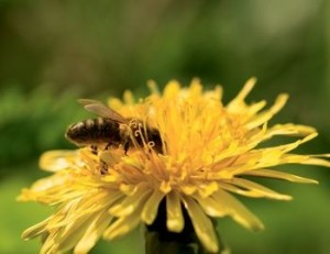 Picture of a honey bee collecting pollen