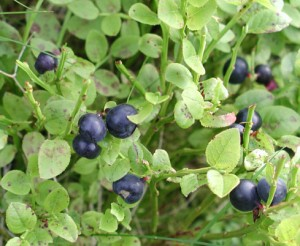Picture of Bilberry Plant
