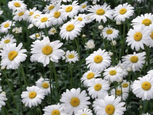 Picture of Chamomile Flowers