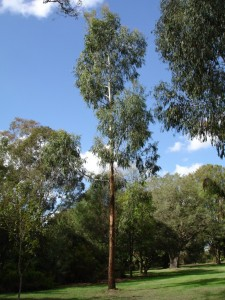 Picture of Eucalyptus Tree