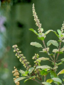 Picture of Holy Basil Plant