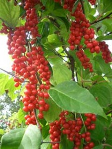 Picture of Schisandra Vine