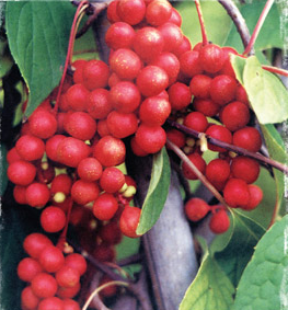 Picture of Schizandra Berries