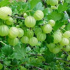 Picture of Amla Fruit