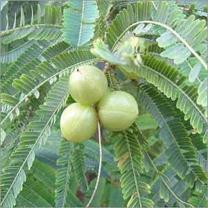 Picture of Amla Tree and Fruit