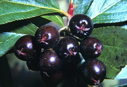 Picture of Chokeberries
