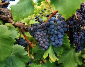 Picture of Purple Grapes