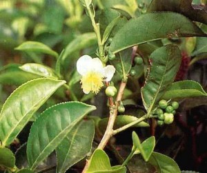 Picture of Suma Plant