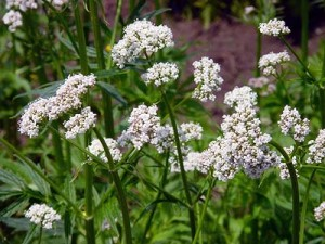 Picture of Valerian Flowers