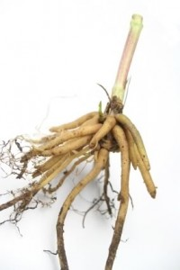 Picture of Valerian Root
