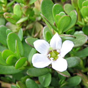 Picture of Bacopa Flower