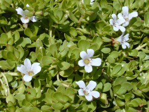 Picture of Bacopa Plant