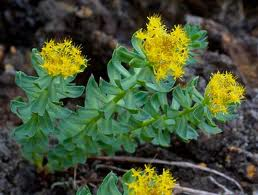 Picture Of Rhodiola Rosea Plant