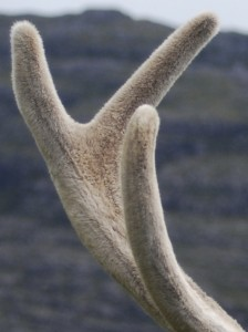 Picture of a deer antler