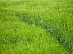 Picture of Barley Grass Field