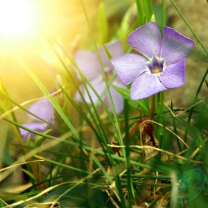 Picture Of Periwinkle Plant