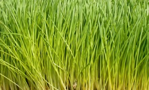 Picture of Wheat Grass