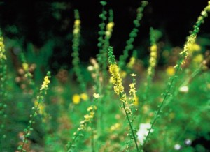 Picture of Agrimony Plant