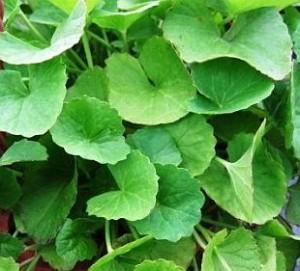 Picture of Gotu Kola Plant