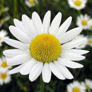 Picture of Chamomile Flower