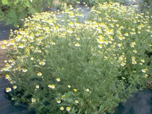 Picture of Chamomile Plant