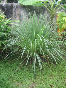 Picture of Lemongrass Plant